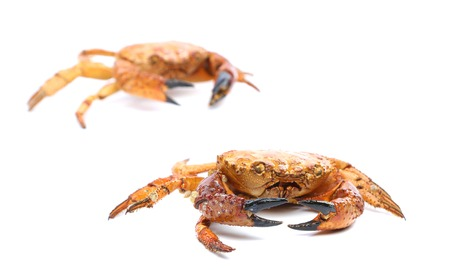 Two red crabs close up. Isolated on a white background photo