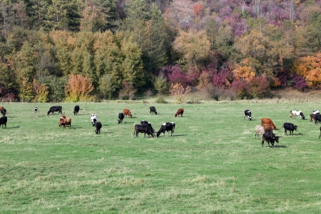 beef cattle: Cows grazing in green meadow. Near the forest.