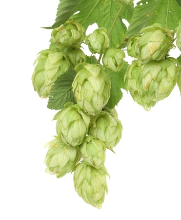 Hop floweron branch. Isolated on a white background. Stock Photo - 23564792