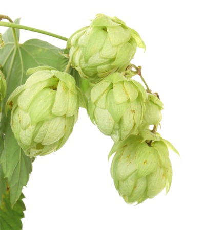 Hop floweron branch. Isolated on a white background. photo