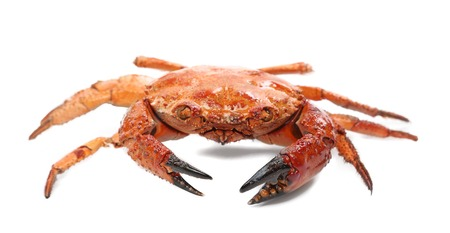 Close up of seafood red crab. Isolated on a white background. photo