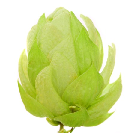 Close up of hop flower. Isolated on a white background Stock Photo - 24178046