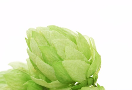 Close up of hop flowers. Isolated on a white background photo