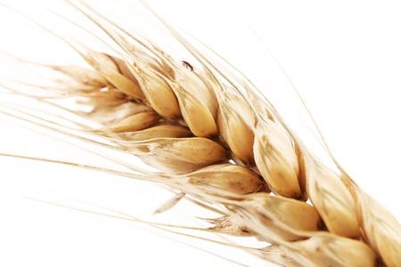 barley head: Closeup of a barley ear over a white background