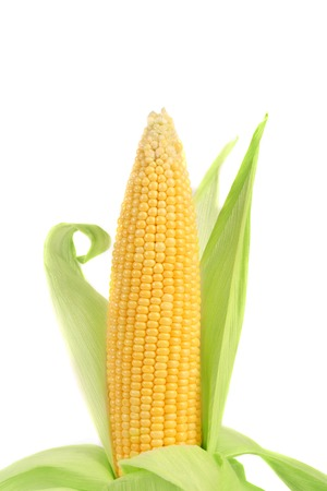 Fresh corn ear. Isolated on a white background. photo