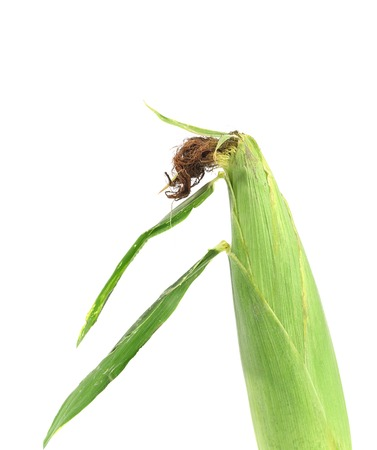 corn ear: Mazorca de ma�z verde fresca. Aislado en un fondo blanco.
