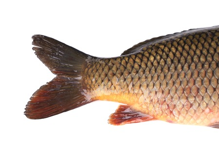 fish tail: Carp fish tail. Macro. Isolated on a white background.