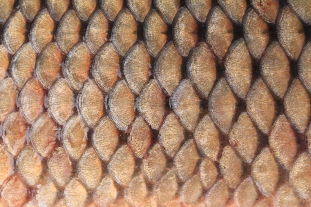 Texture of fish scales close up. Whole background. Stock Photo - 25314602