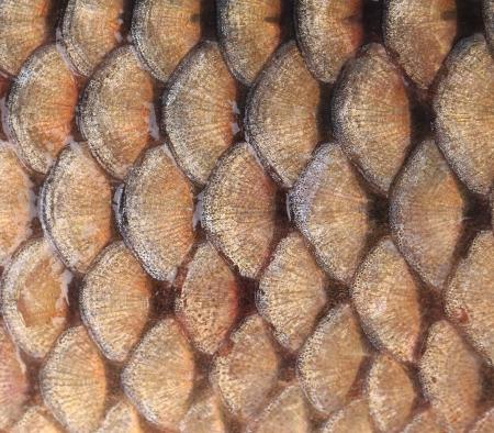 escamas de peces: Fondo del oro - escamas de pescado. Todo el fondo Foto de archivo