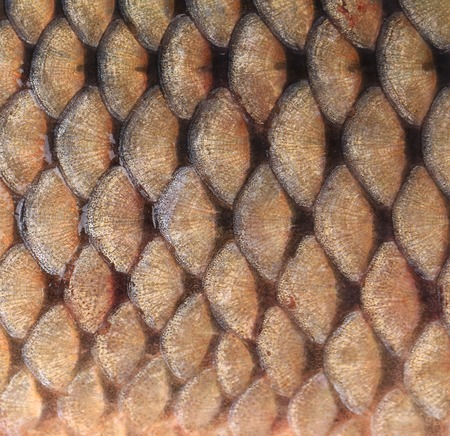 Texture of fish scales close up  Whole  photo