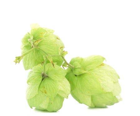 Close up of hop flowers. Isolated on a white background. photo