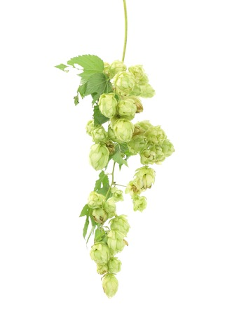 humulus: Pile of green hop cones. Isolated on a white background.