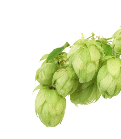 lupulus: Pile of green hop cones. Whole background.