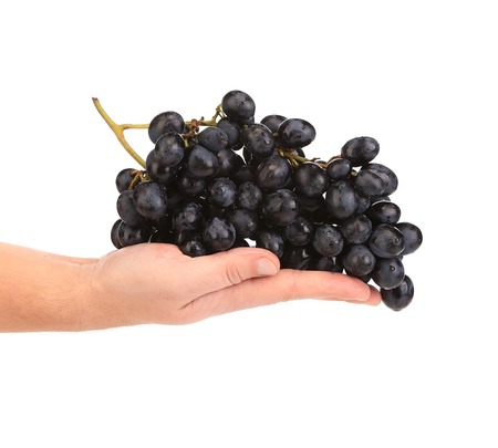 Branch of black ripe grapes on hand. Isolated on a white background. photo
