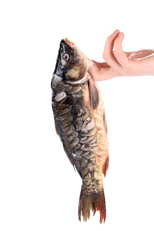 Fresh mirror carp. On human fingers. photo