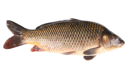 cichlidae: Close up of carp fish. Isolated on a white.