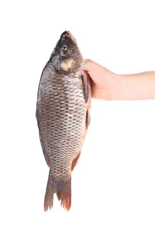 Hand holds fresh fish. Isolated on a white background. photo