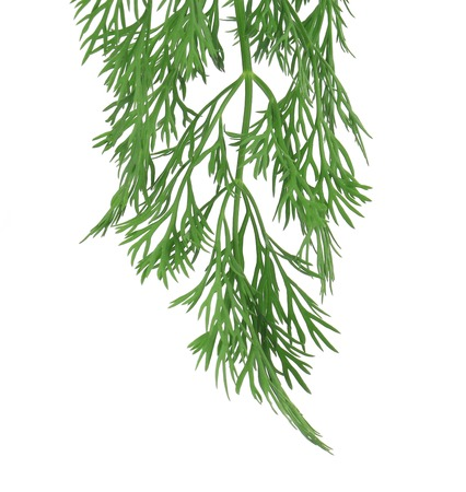 fresh dill herb isolated on white background photo