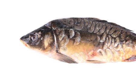 Mirror carp. Isolated on a white background. photo