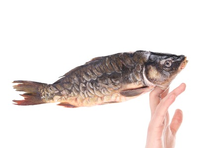 Fresh mirror carp on human fingers. Isolated on a white background. photo