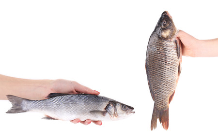 Hands with fish. Isolated on a white background. photo