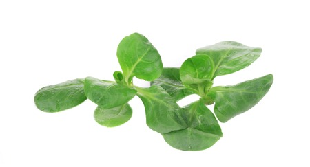 flavoring: Close up of green fresh basil. Isolated on a white background.