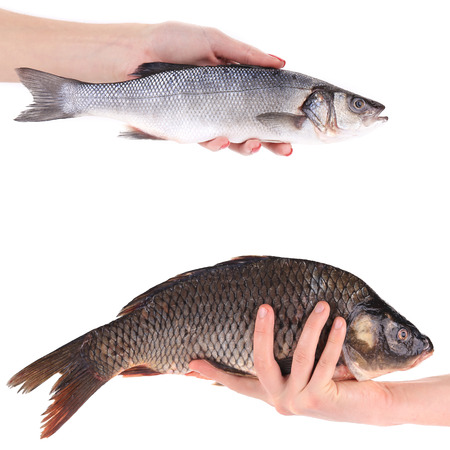 Hand holds carp and seabass fish  photo