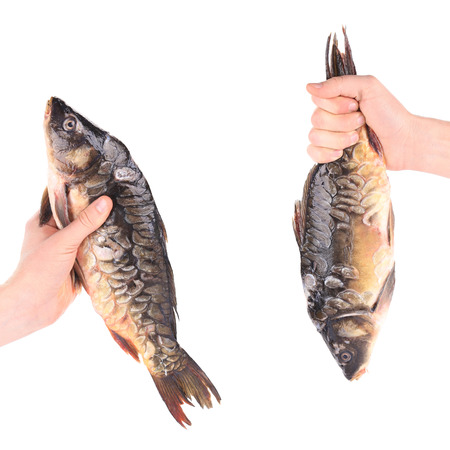 mirror carp: Hand holds fresh mirror carp. Isolated on a white background. Stock Photo