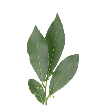 nobilis: Bay leaves. Isolated on a white background.