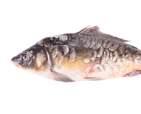 mirror carp: Fresh mirror carp close up. Isolated on a white background.