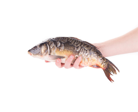 Hand holding fresh mirror carp. Isolated on a white background. photo