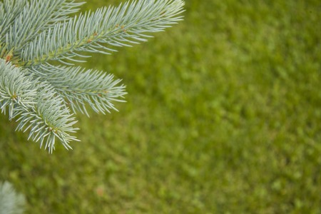 Blue spruce branch for postcards. Blurred green background. photo