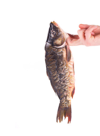 Hand holding fresh mirror carp. Isolated on a white . photo