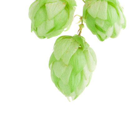 lupulus: beautiful hop isolated on white background closeup Stock Photo