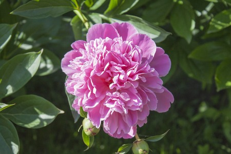 georgeous: Georgeous peony in a full bloom. Green background.