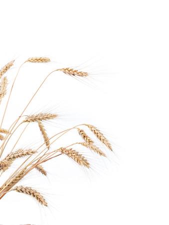 barley head: Closeup of a barley ears over a white background