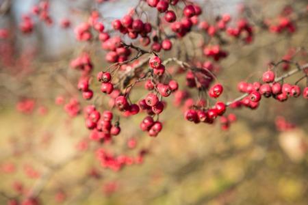 ash berry: Rowan berries Mountain ash tree with ripe berry