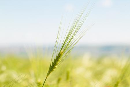 wheat grain: Green wheat in the field Stock Photo