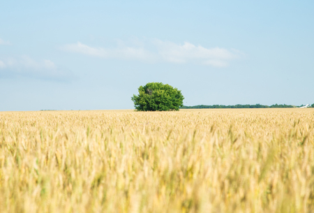 farm field: Yellow grain ready for harvest growing in a farm field Stock Photo