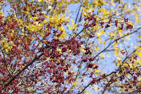 ash tree: Rowan berries Mountain ash tree with ripe berries