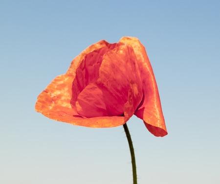 herbage: red wild poppy