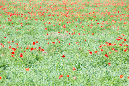 flowers field: Poppy flowers field as a background closeup