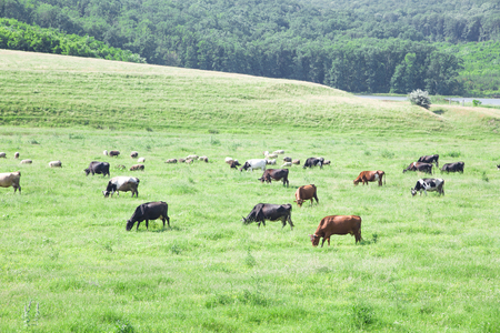agri: Flock of cows grazing on the field