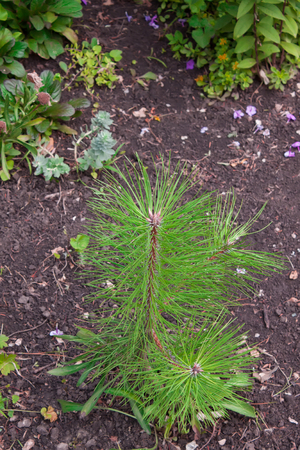 young tree: Young pine tree on the blurry background of green plants