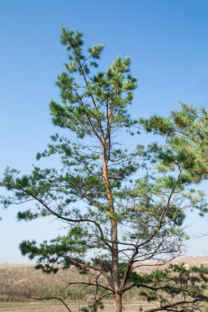 lone pine: Lone pine tree and blue sky hill landscape