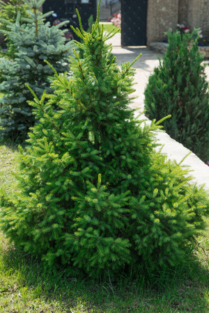 landscaped garden: Christmas trees growing in a landscaped garden