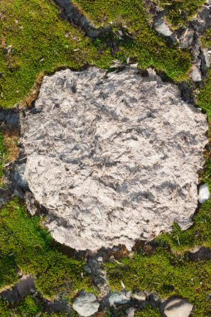 dry cow: Close up view of dry cow dung  on among green moss Stock Photo