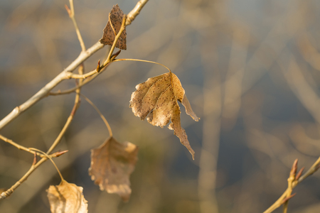 arbol alamo: Dry leaves on poplar tree branch in autumn park, a beautiful sunny close-up