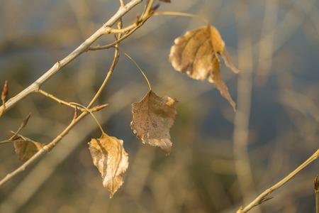 arbol alamo: Últimos 3 hojas en la rama de árbol de álamo en otoño de parque, una hermosa iluminada por el sol de primer plano