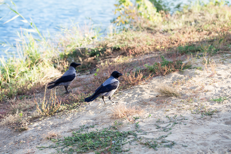 hooded: A closeup of a couple of hooded crows walking on the park lake shores